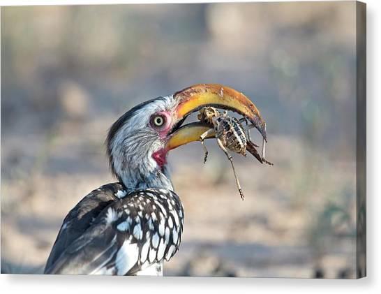 Hornbill Canvas Print - Yellow-billed Hornbill Eating A Cricket by Tony Camacho