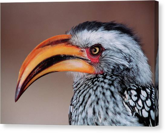 Hornbill Canvas Print - Yellow-billed Hornbill by Tony Camacho/science Photo Library