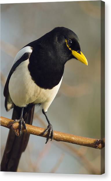 Yellow-billed Magpie Canvas Print