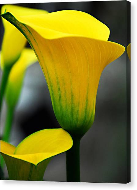 Yellow Calla Lily Canvas Print