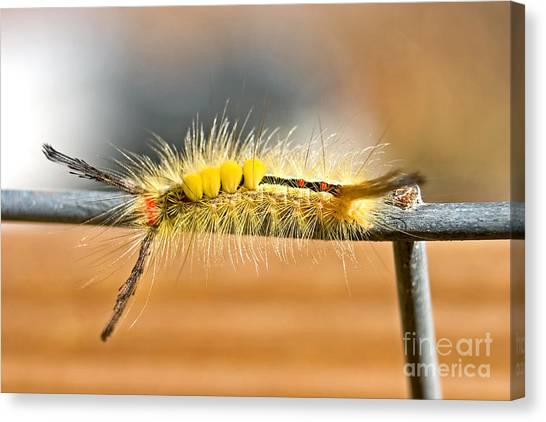 Yellow Caterpillar Canvas Print