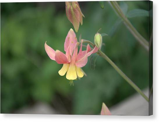 Yellow Columbine Canvas Print