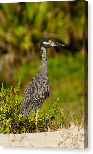 Yellow Crowned Night Heron Dune Watch Canvas Print