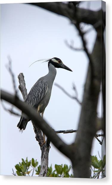 Yellow Crowned Night Heron Canvas Print