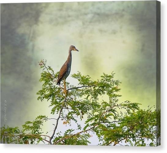 Yellow-crowned Night Heron Swaying In The Wind Canvas Print by J Larry Walker