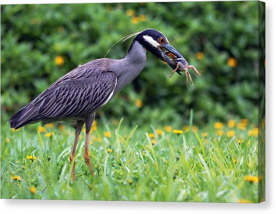 Yellow-crowned Night Heron With Crab Canvas Print