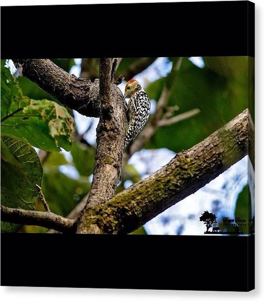Woodpeckers Canvas Print - Yellow-crowned Woodpecker (dendrocopos by Nayan Hazra