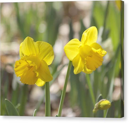 Daffodils Canvas Print - Yellow Daffodil Flowers by Kim Hojnacki