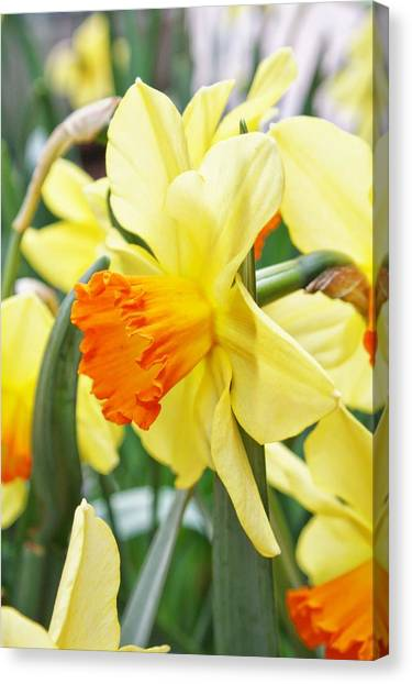 Yellow Daffodils  Canvas Print by Cathie Tyler