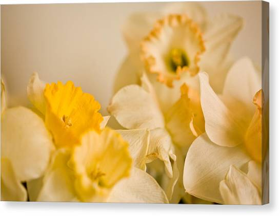 Yellow Daffodils Canvas Print by John Holloway
