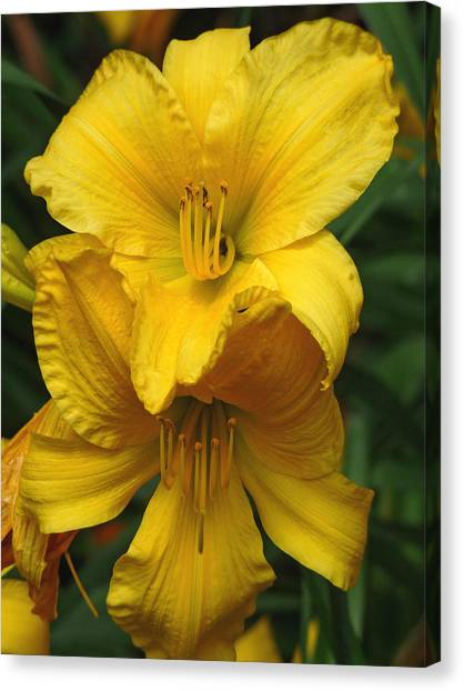 Yellow Day Lilies Canvas Print
