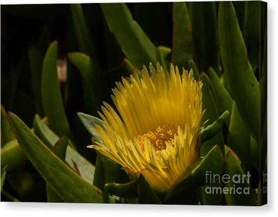 Yellow Flower  1.7098 Canvas Print by Stephen Parker