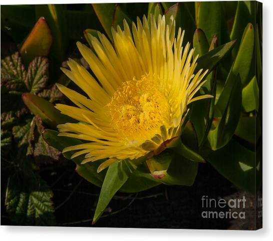 Yellow Flower 1.7103 Canvas Print by Stephen Parker