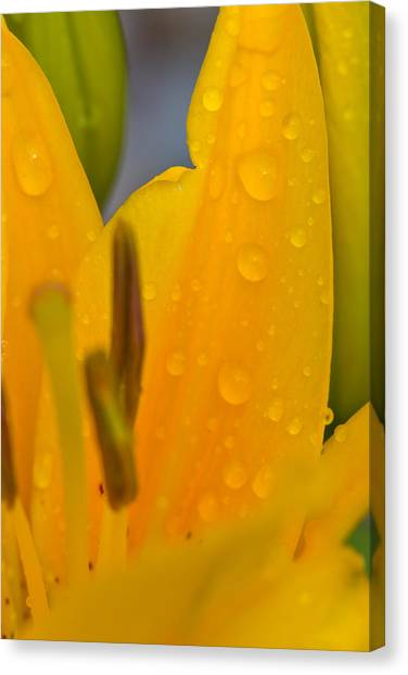 Yellow Flower With Water Drops Canvas Print