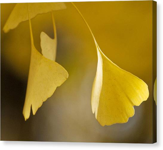 Yellow Ginkgo Canvas Print