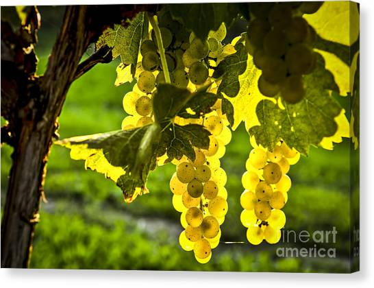 White Wine Canvas Print - Yellow Grapes In Sunshine by Elena Elisseeva