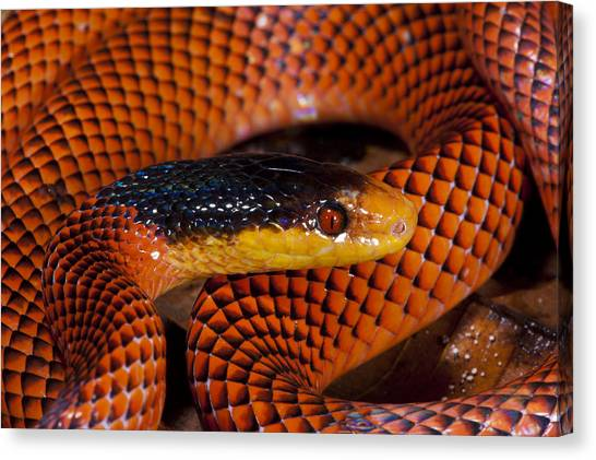 Coral Snakes Canvas Print - Yellow-headed Calico Snake Yasuni by Pete  Oxford
