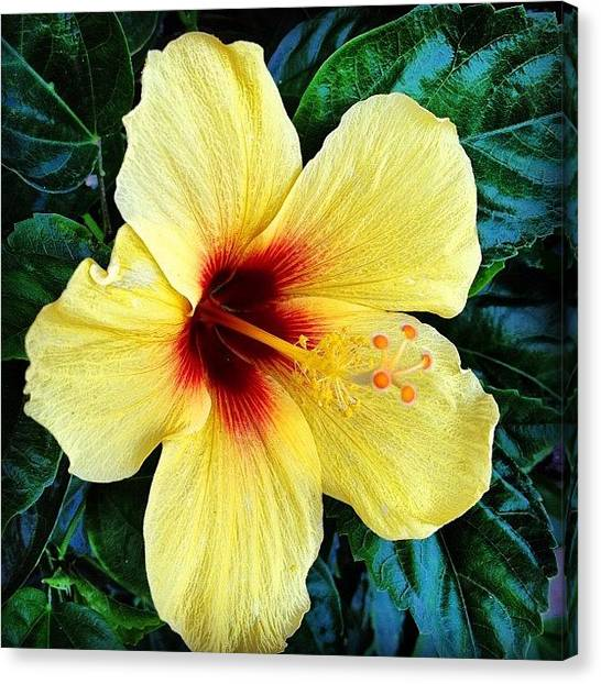 Yellow Canvas Print - Yellow Hibiscus 2 by Darice Machel McGuire