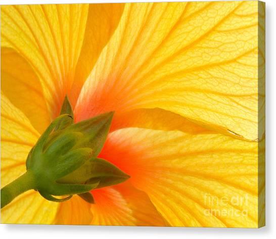Yellow Hibiscus Backlit Macro Canvas Print
