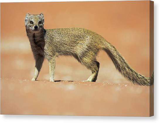 Kalahari Desert Canvas Print - Yellow Mongoose In Kalahari Desert by Heike Odermatt
