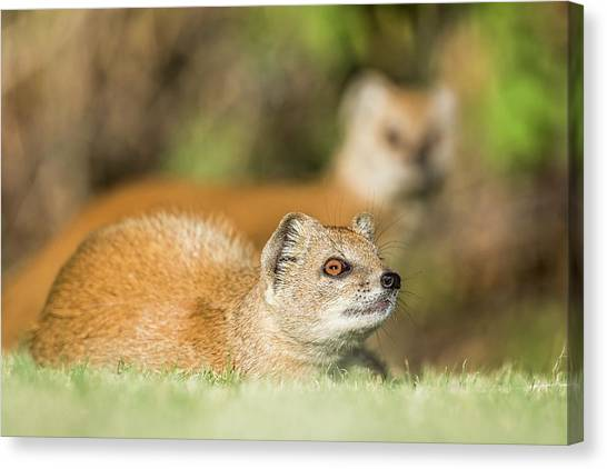 Yellow Mongoose Canvas Print by Peter Chadwick/science Photo Library