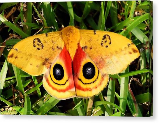 Yellow Moth Canvas Print