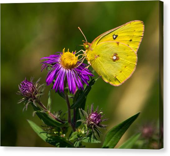 Yellow Over Purple Canvas Print
