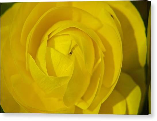 Yellow Peony Canvas Print by Sharin Gabl