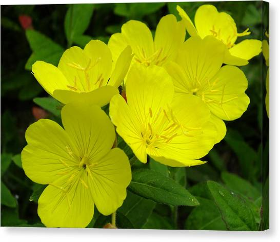 Yellow Primrose Canvas Print