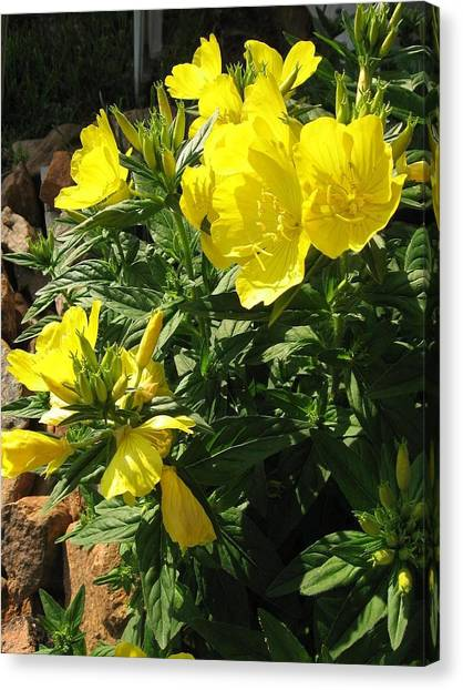 Yellow Primroses Canvas Print