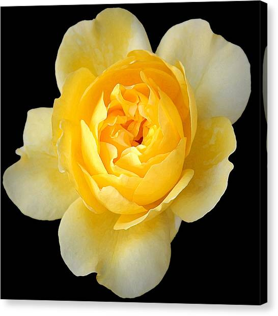 Yellow Rose Canvas Print by CarolLMiller Photography