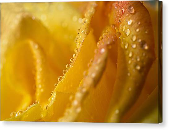 Yellow Rose Dew Canvas Print