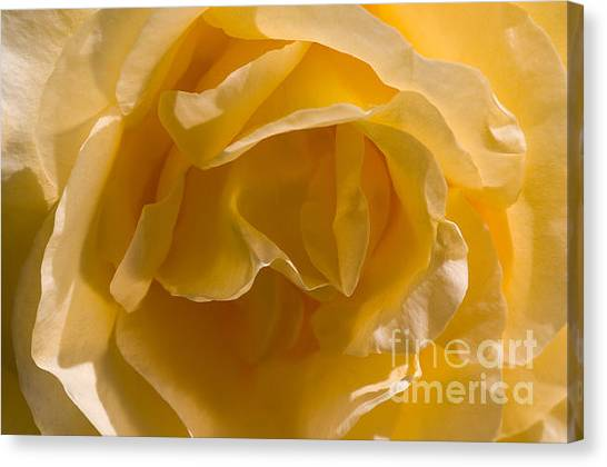 Yellow Rose Ruffles Canvas Print
