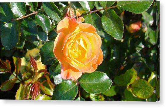 Yellow Rose Canvas Print by Van Ness