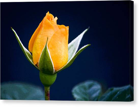 Yellow Rosebud Canvas Print