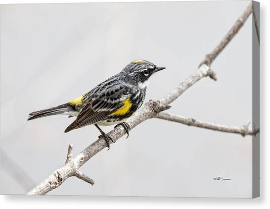 Yellow-rumped Warbler 3 Canvas Print by Jeff Swanson