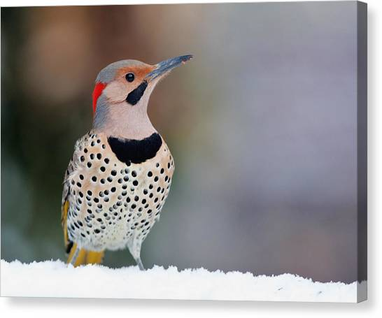 Yellow Shafted Flicker In Snow Canvas Print