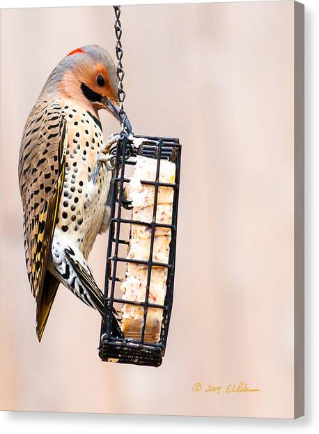 Canvas Print featuring the photograph Yellow-shafted Northern Flicker Lunch by Edward Peterson