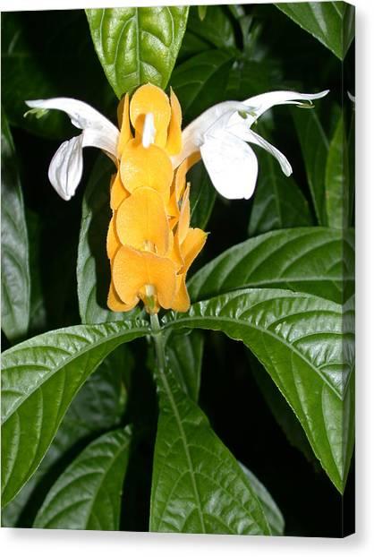 Yellow Shrimp Plant Canvas Print