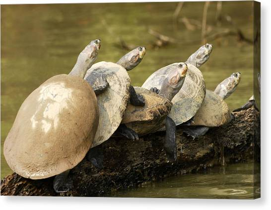 Amazon River Canvas Print - Yellow-spotted Amazon River Turtles by M. Watson