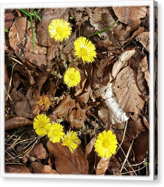 Spring Canvas Print - Yellow Spring Flowers And Old Brown Leaves by Matthias Hauser