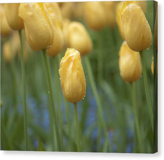 Yellow Spring Canvas Print by Sarah Crites