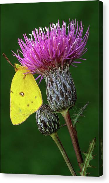 Sulfur Butterfly Canvas Print - Yellow Sulfur Butterfly On Thistle by Animal Images