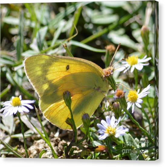 Sulfur Butterfly Canvas Print - Yellow Sulfur Butterfly by Ruth  Housley