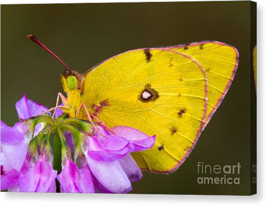 Sulfur Butterfly Canvas Print - Yellow Sulfur Butterfly by Todd Bielby