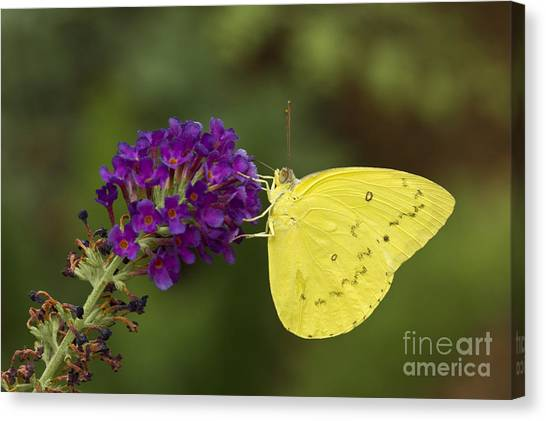 Sulfur Butterfly Canvas Print - Yellow Sulfur On Butterfly Bush by Bryan Keil
