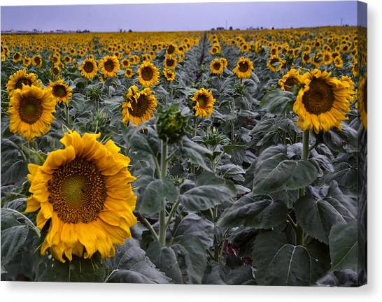 Yellow Sunflower Field Canvas Print
