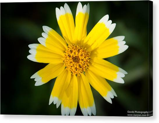 Yellow Sunshine  Canvas Print