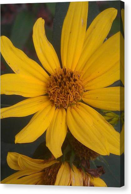 Yellow Sunshine Canvas Print by Kim Martin