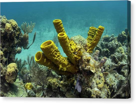 Belize Canvas Print - Yellow Tube Sponge (aplysina Fistularis by Pete Oxford